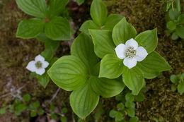 Image of bunchberry dogwood