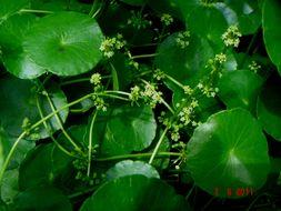 Image of manyflower marshpennywort