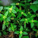 Image of Pacific false buttonweed