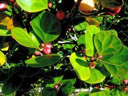 Image of <i>Ficus deltoidea</i> Jack