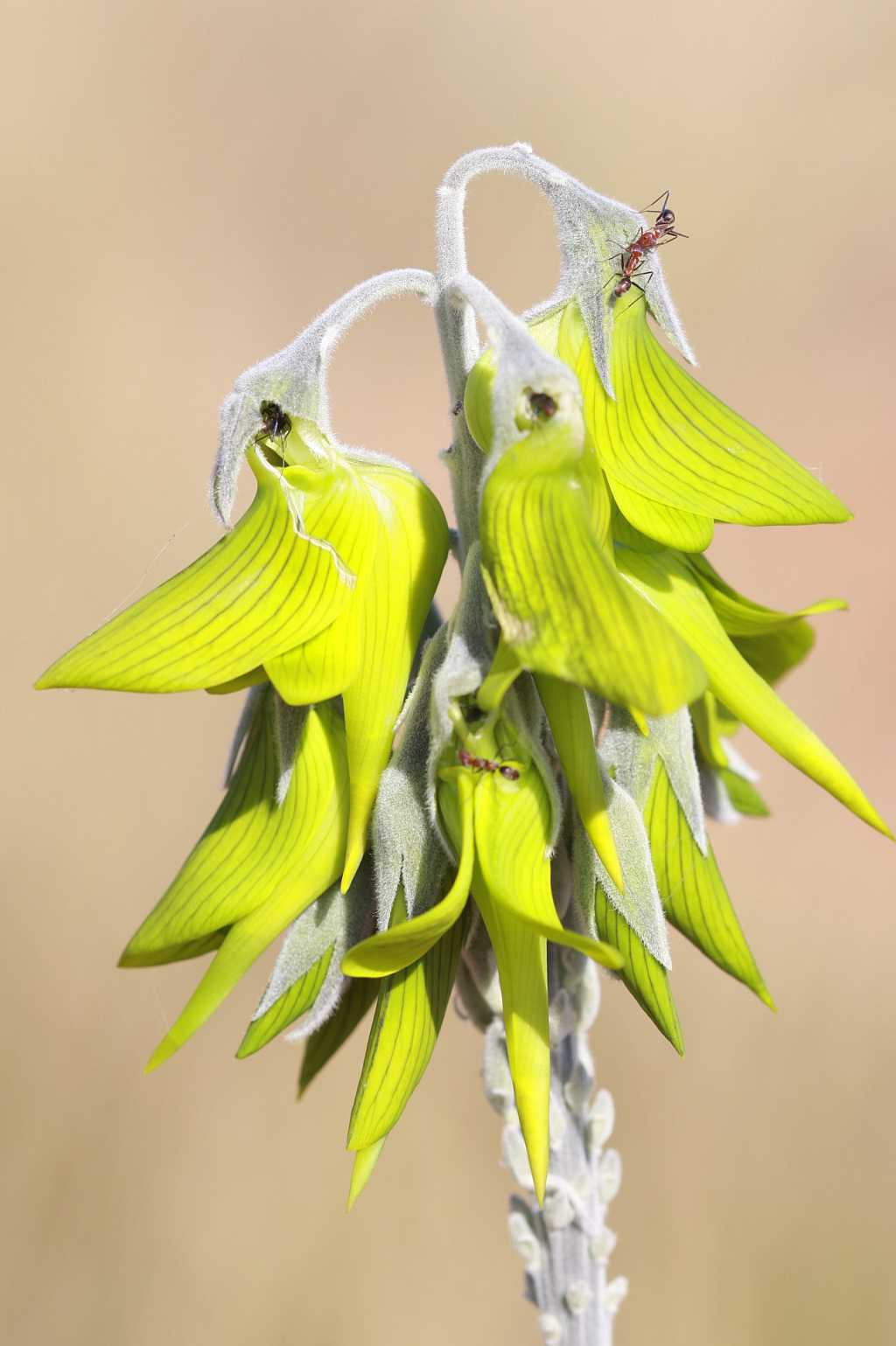 Image of Birdflower Rattlepod