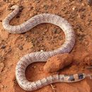 Image of Narrow-banded Burrowing Snake
