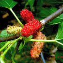Image of white mulberry