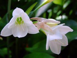Image of <i>Eucharis grandiflora</i>
