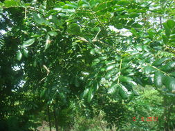 Image of raintree