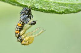 Image of Seven-spot ladybird