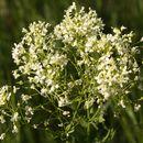 Image of <i>Lepidium draba</i> L.