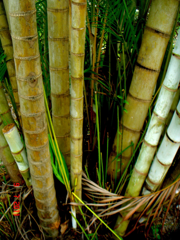 Image of Areca Palm