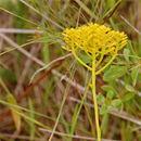 Image of low pinebarren milkwort