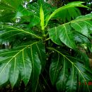 Image of breadfruit