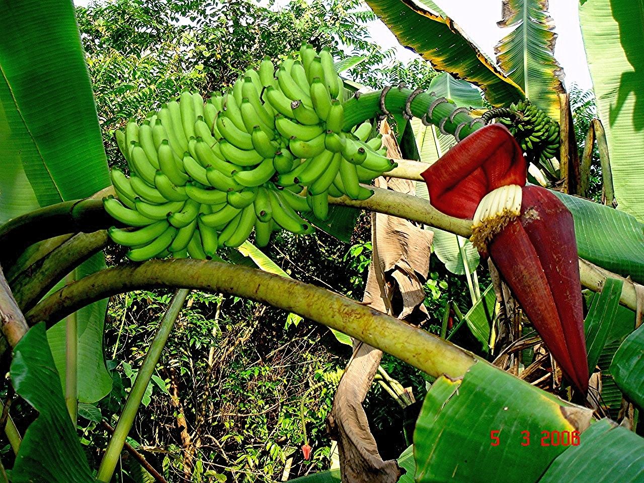 Image of edible banana