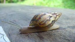 Image of >Drymaeus papyraceus