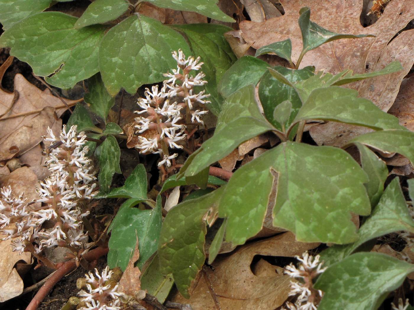 Image of Allegheny-spurge