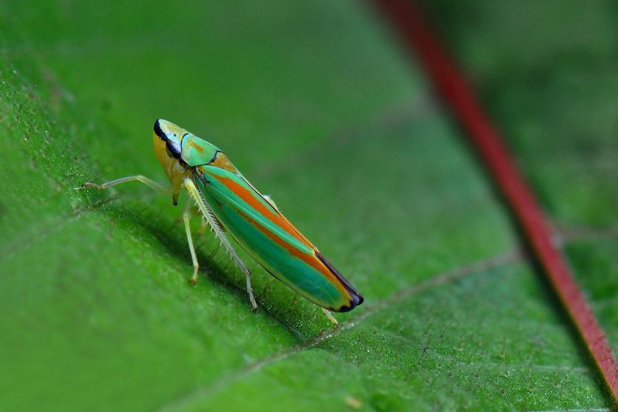 Image of <i>Graphocephala fennahi</i> Young 1977