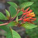 Image of scarletbush