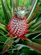 Image of Pineapple