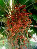 Image of Vanuatu fan palm