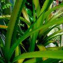 Image of <i>Ananas nanus</i>