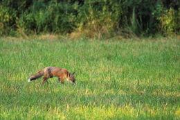 Image of Black Fox