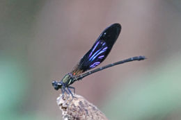 Image of <i>Euphaea masoni</i> Selys 1879