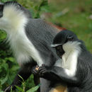 Image of Roloway Guenon