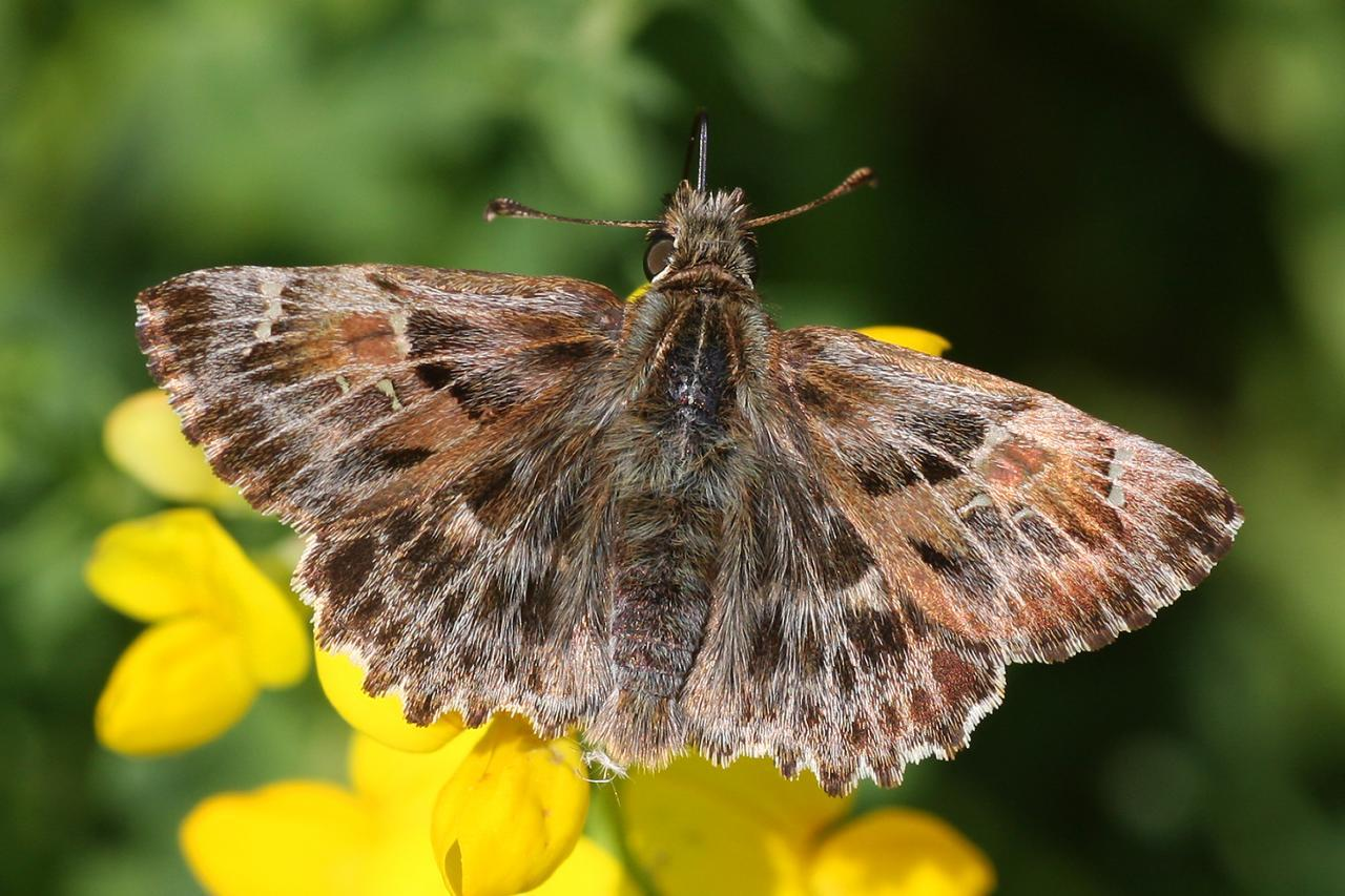 Image of Mallow Skipper