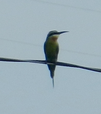 Image of Blue-tailed Bee-eater
