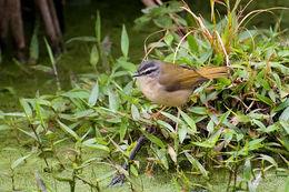 Image of Riverbank Warbler