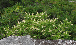 Image of mountain sweetpepperbush