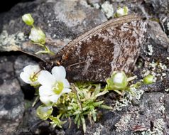Image of <i>Oeneis melissa semidea</i>