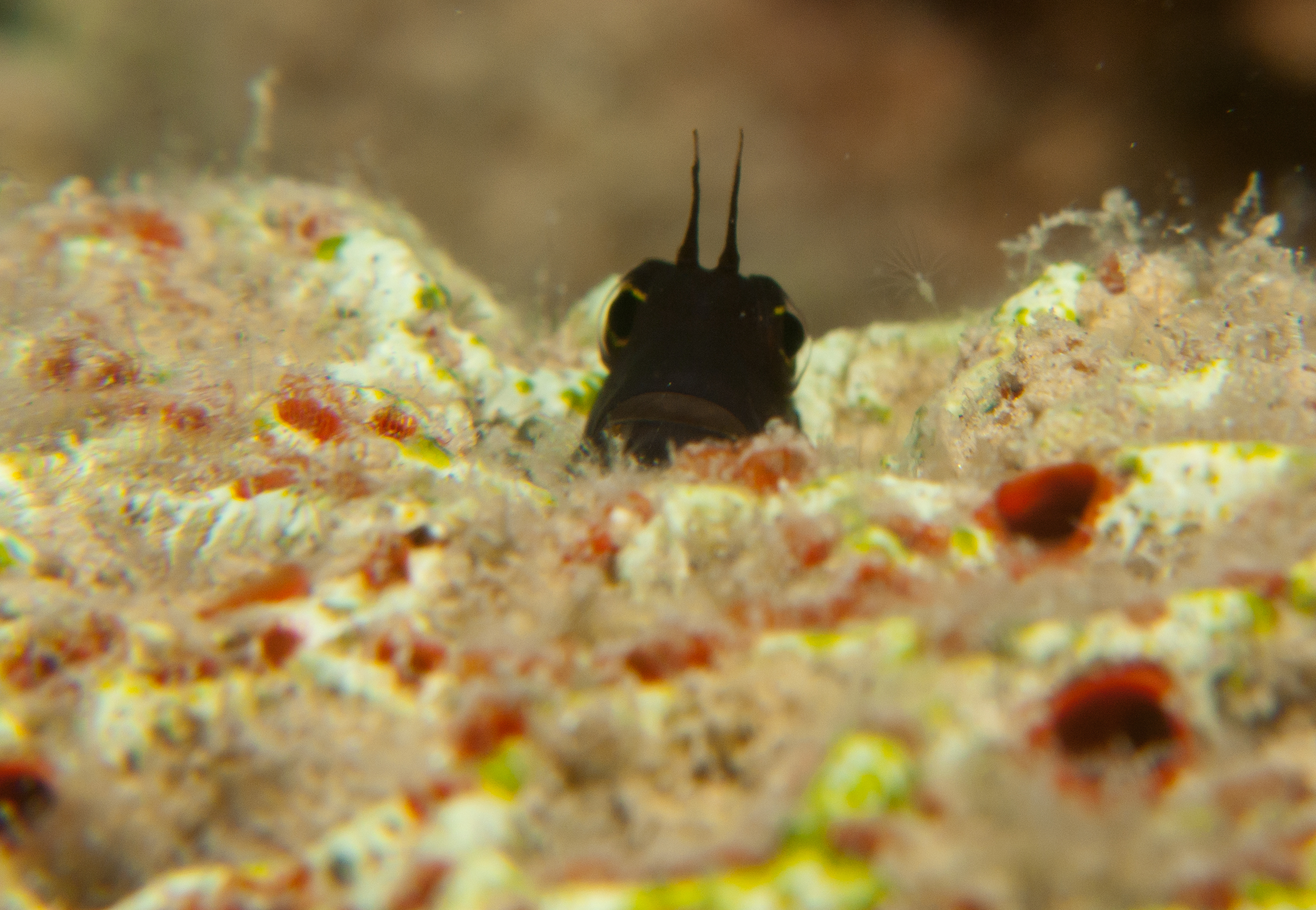 Image of Smooth-fin blenny