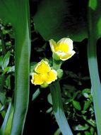 Image of yellow velvetleaf