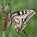 Image of Old World Swallowtail