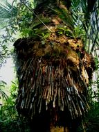 Image of sago palm