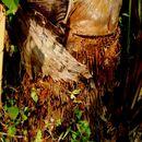 Image of sago palm