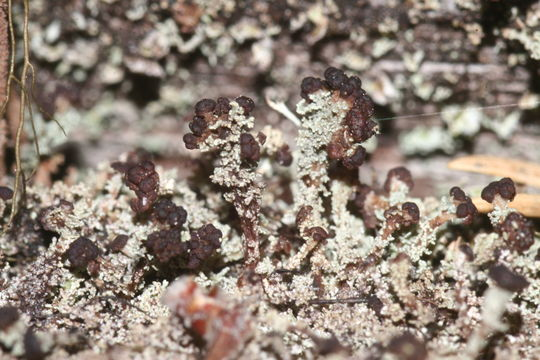 Image of parasite cup lichen