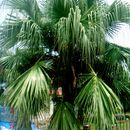 Image of fountain palm