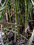 Image of <i>Eleiodoxa conferta</i> (Griff.) Burret