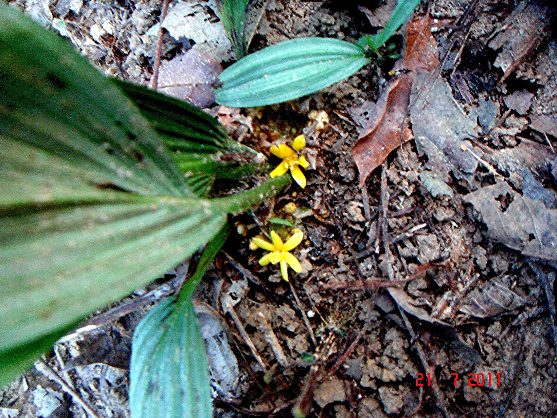 Image of <i>Molineria latifolia</i> (Dryand. ex W. T. Aiton) Herb. ex Kurz