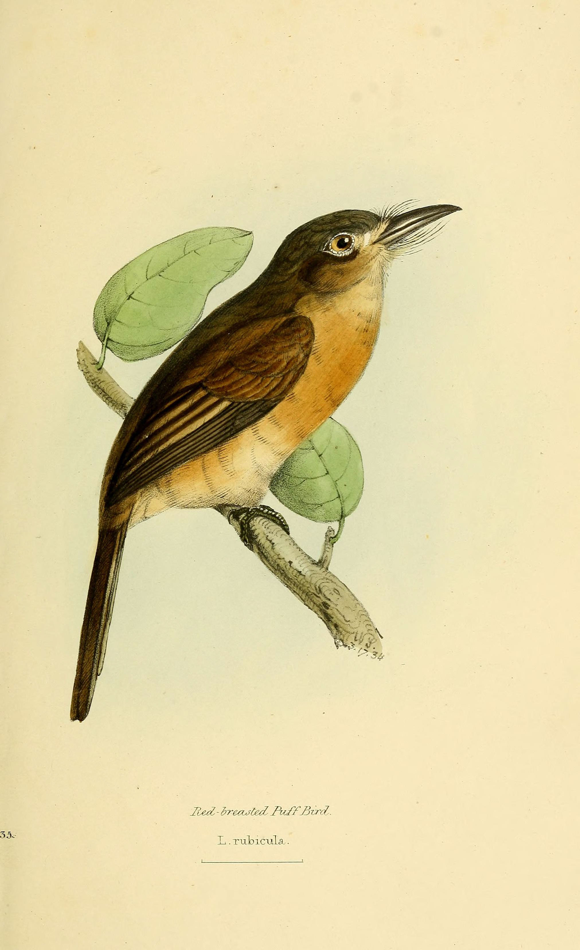 Image of Rusty-breasted Nunlet