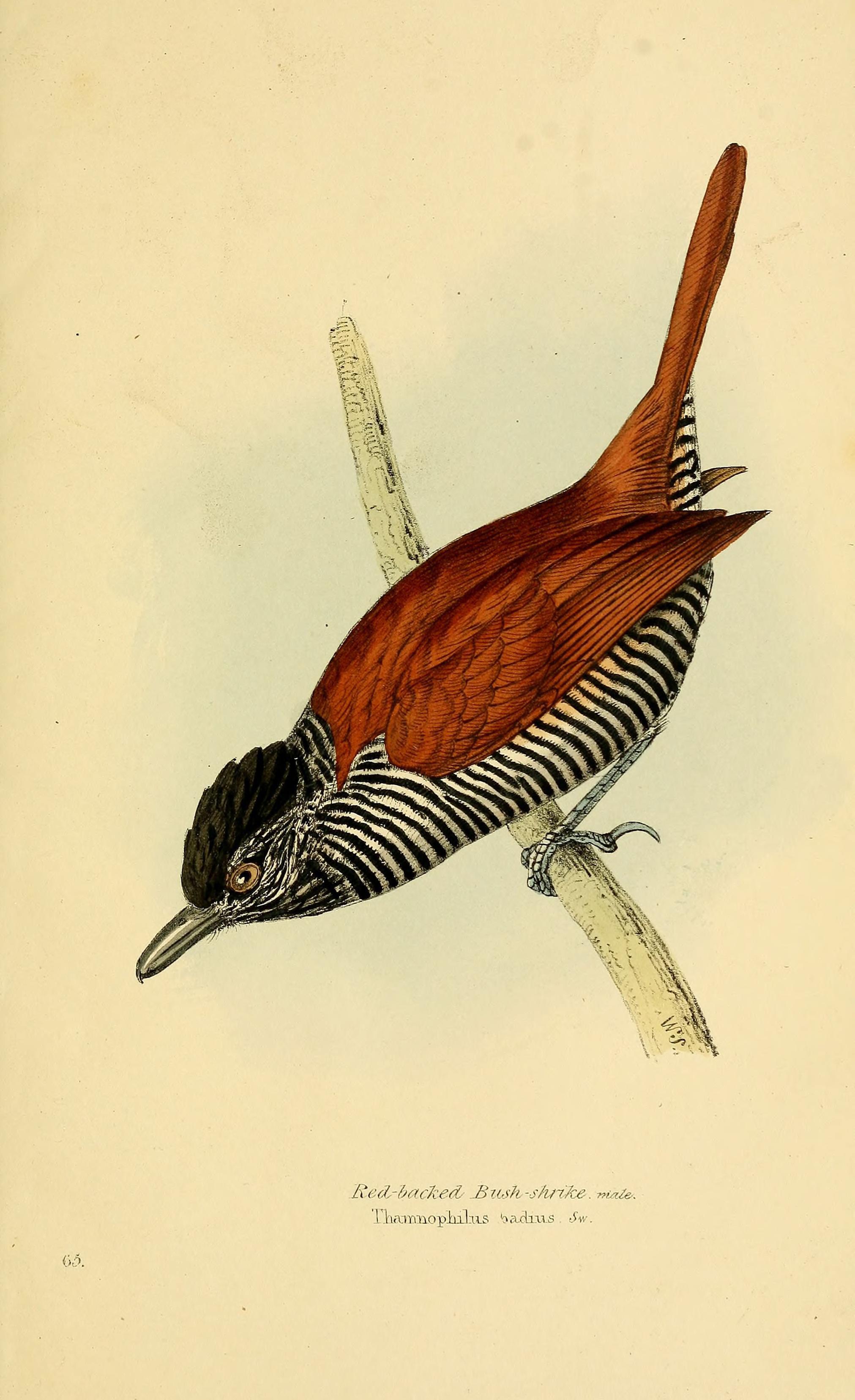 Image of Chestnut-backed Antshrike