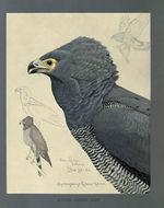 Image of African Harrier-Hawk