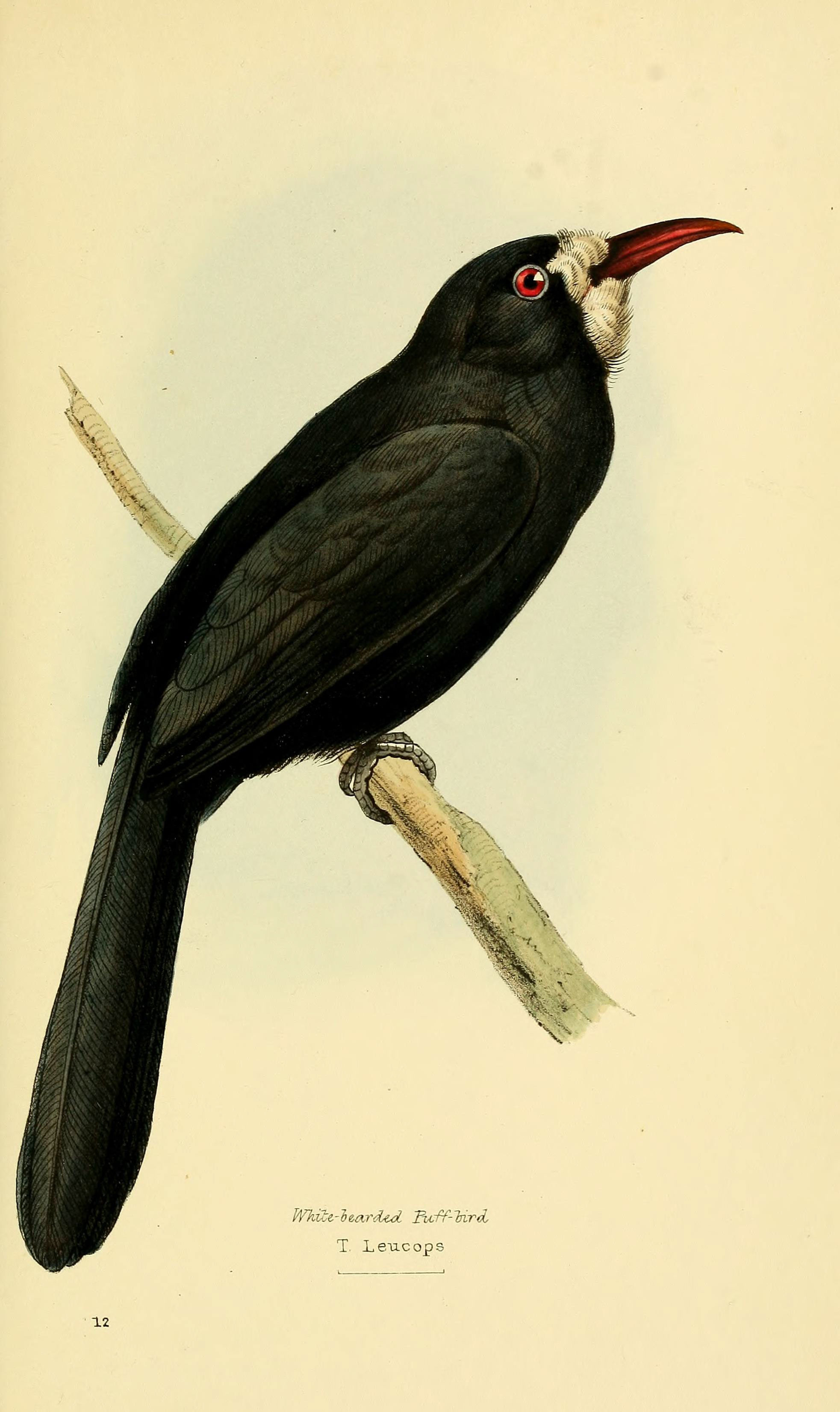 Image of White-fronted Nunbird