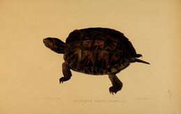 Image of Malayan spiny turtle