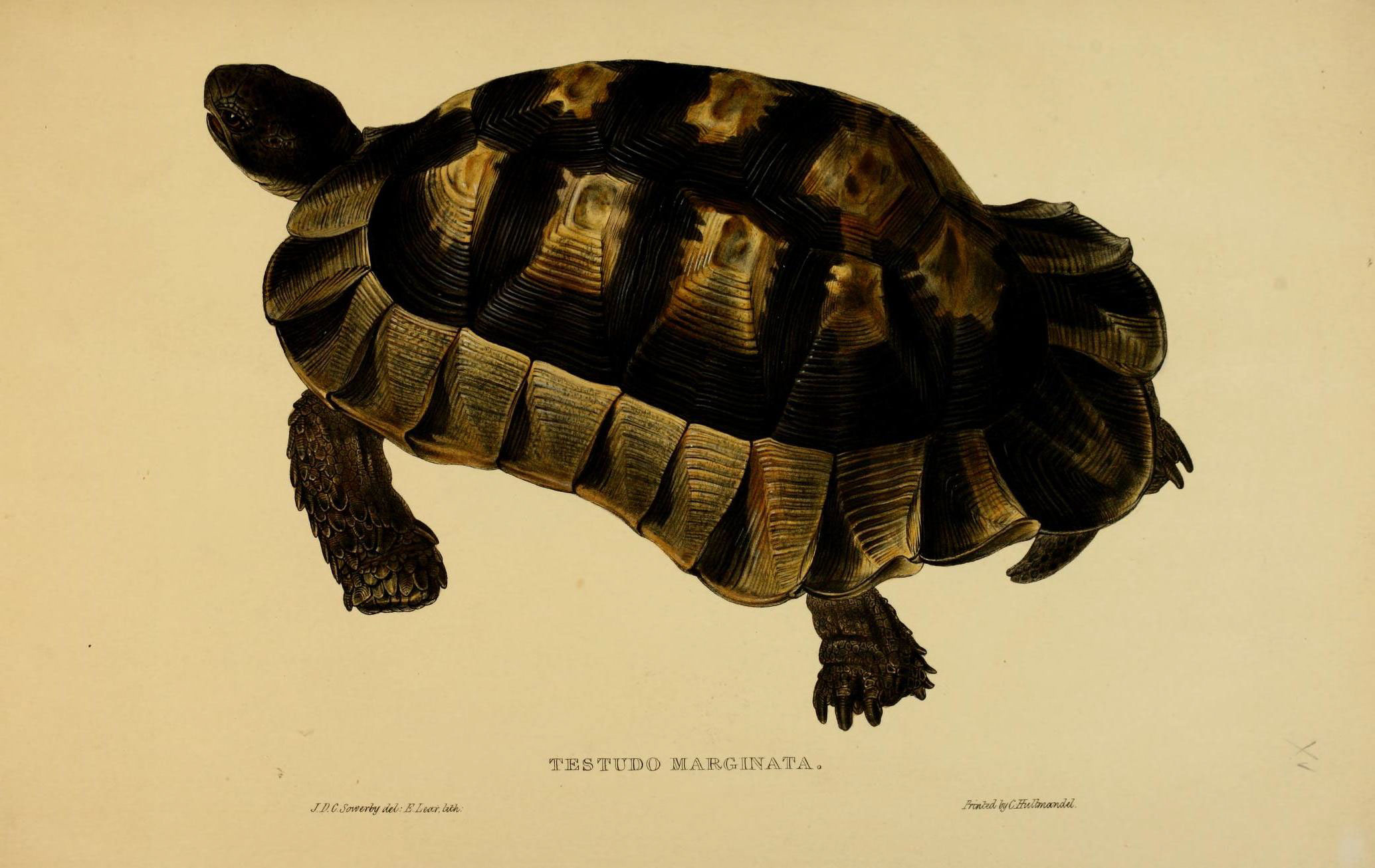 Image of Marginated tortoise