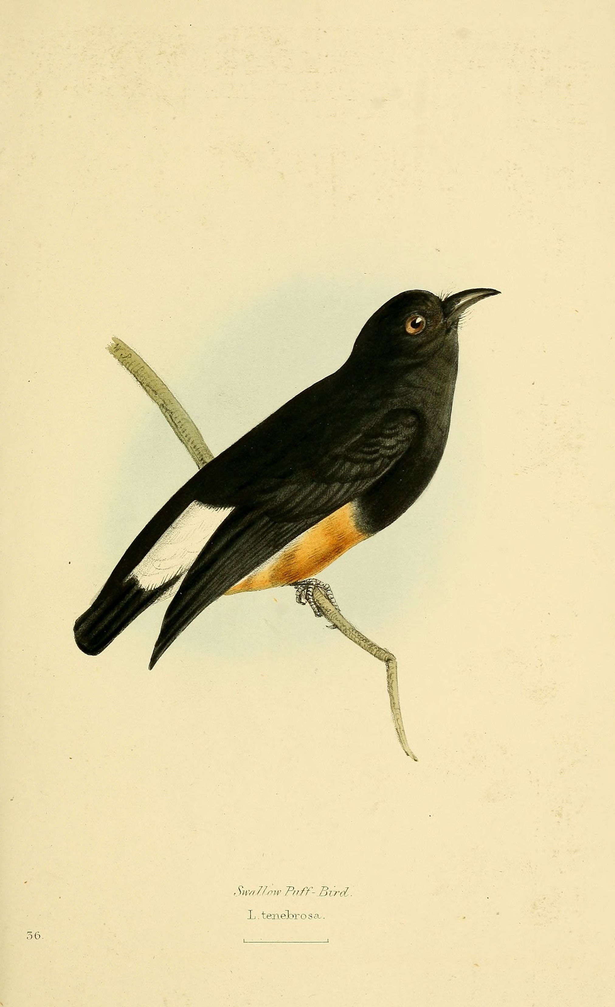 Image of Swallow-winged Puffbird