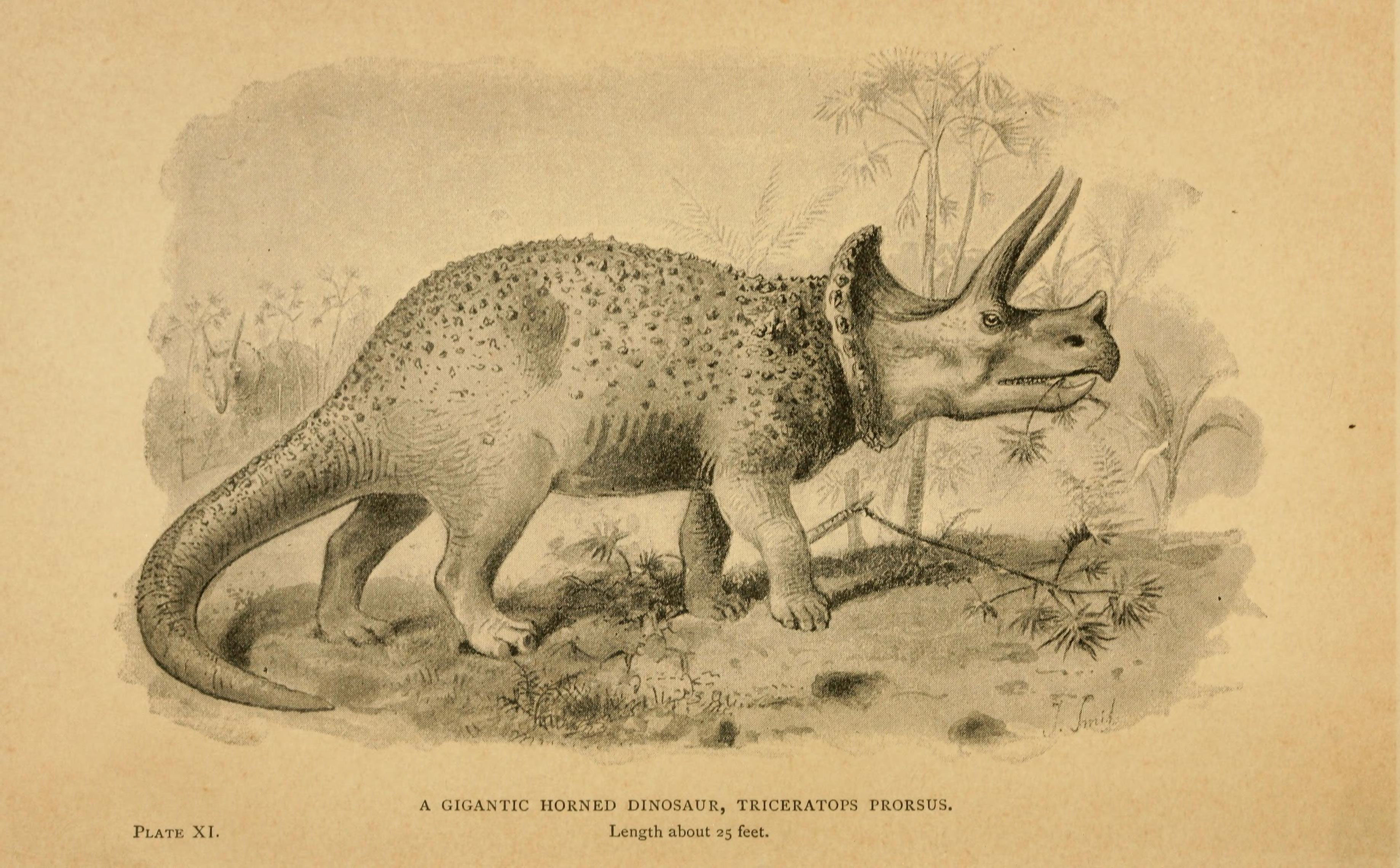 Image of <i>Triceratops prorsus</i> (Marsh 1890)