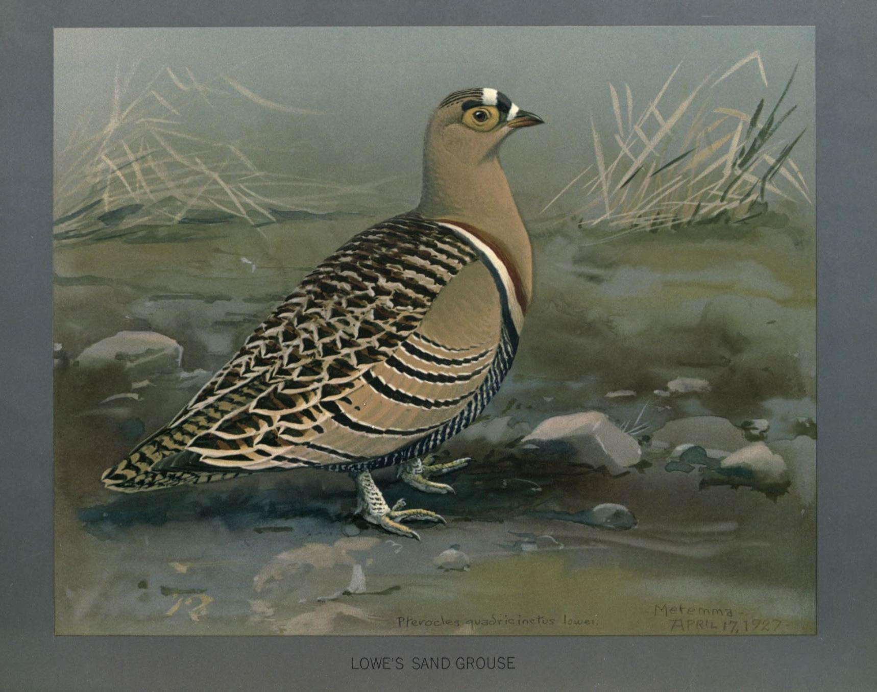 Image of Four-banded Sandgrouse