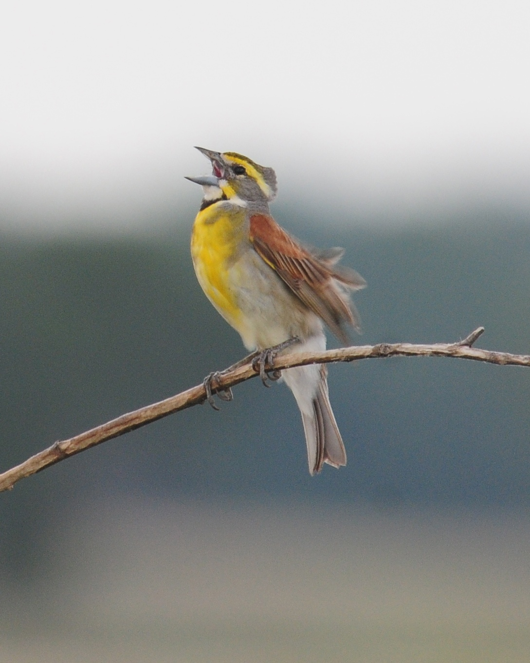 Image of Dickcissel