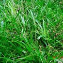 Image of carpetgrass